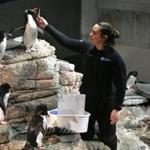 Penguin biologist Andrea Newman fed capelin to her Southern Rockhopper penguins at the New England Aquarium.